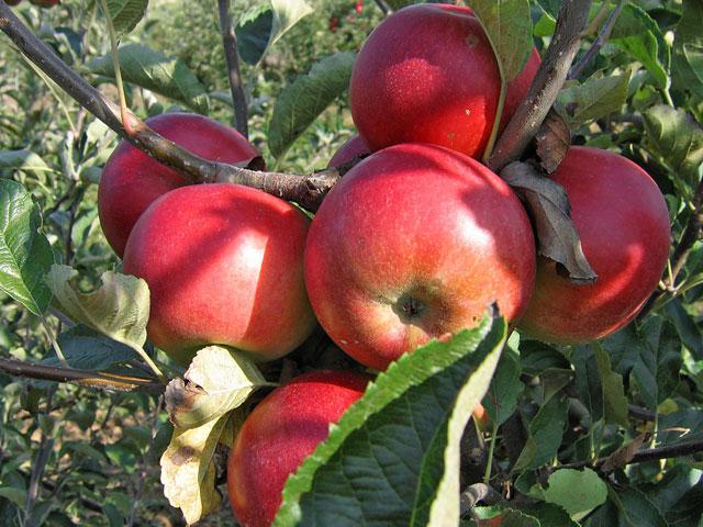 hipertenzije i jabuke sol prehrana bez hipertenzije