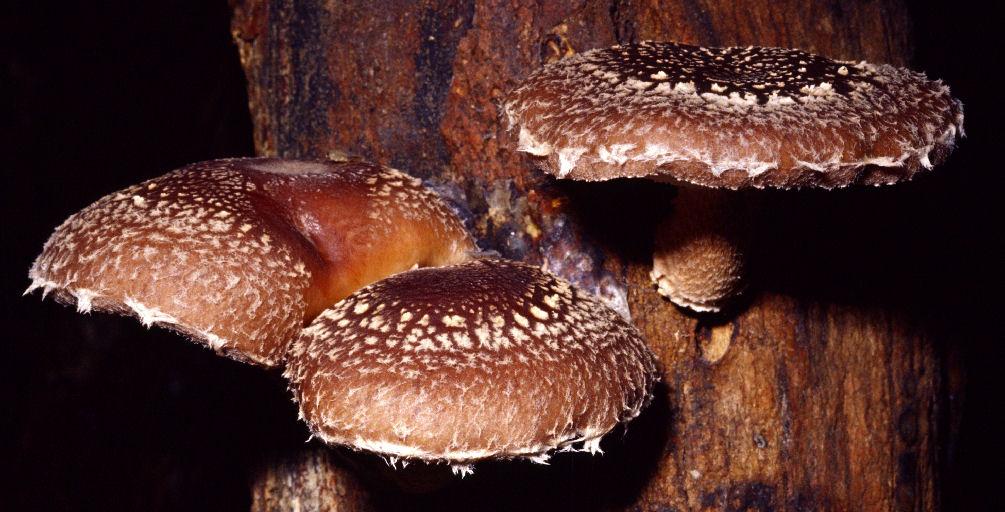 gljive i hipertenzija magnezij liječenje hipertenzije tablete