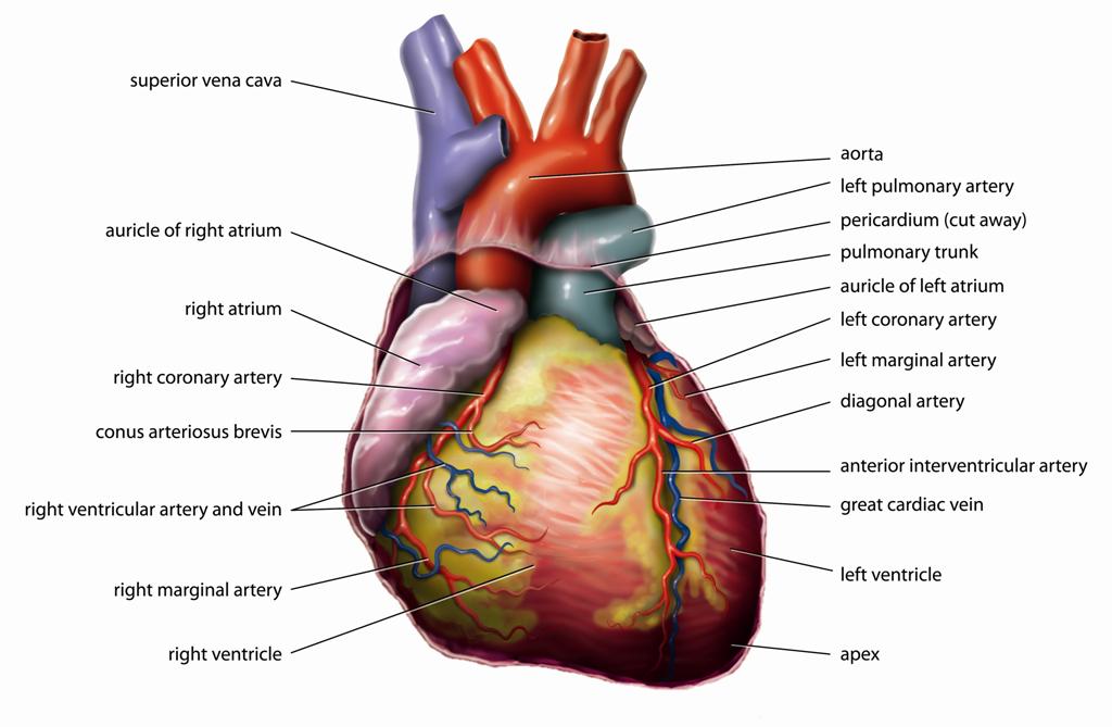 hipertenzija akupunkturna točka hipertenzija ishrana