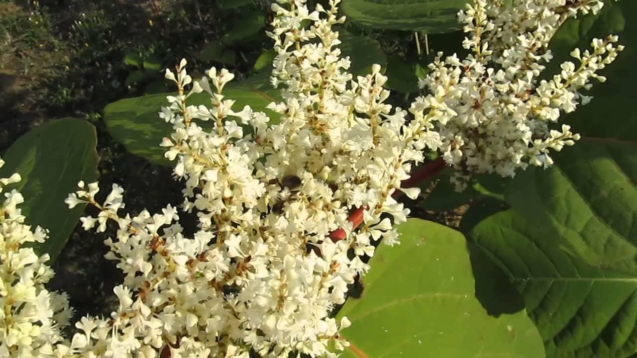sophora japonica liječenje hipertenzije